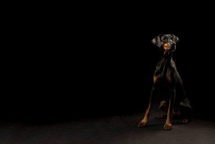 Hundefotografie Dobermann