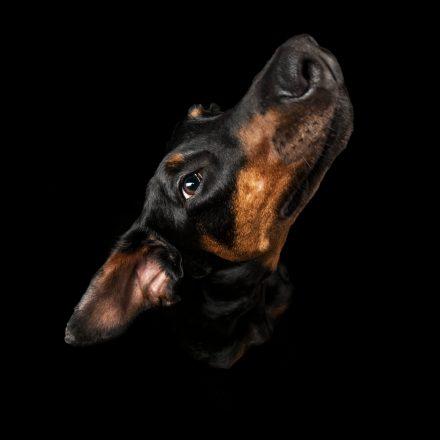 Hundeportrait Dobermann