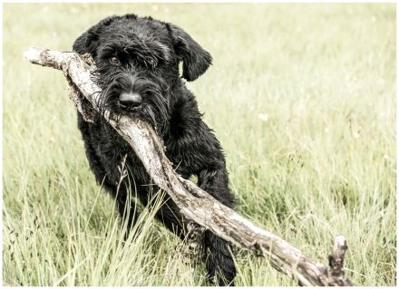 Riesenschnauzer Hundefotografie