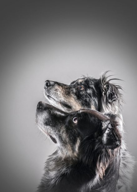 Hundepärchen im Studio