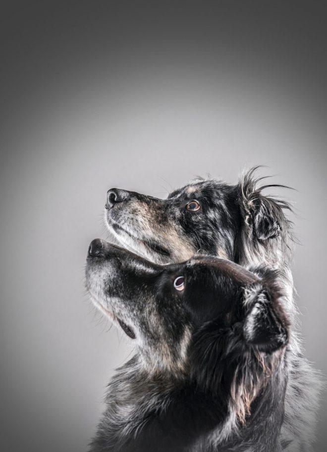 Hundeportraits im Studio