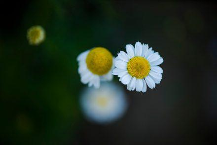Foto Margeriten Blüte