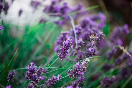 Foto Lavendelblüte Biene
