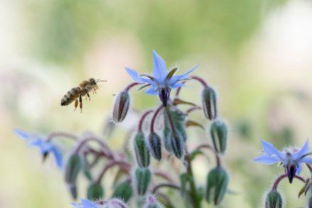Foto Borretsch-Blüten Biene