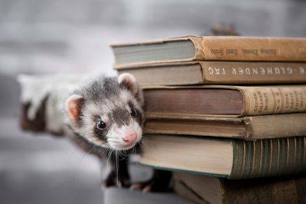 Frettchen mit Bücherstapel