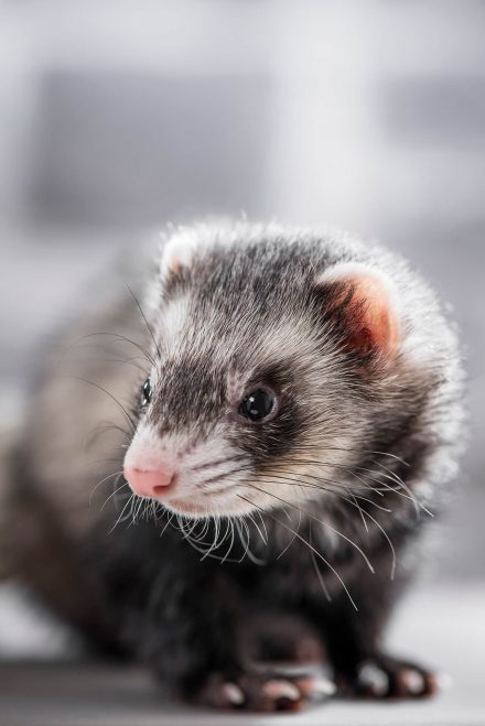 Frettchen Portrait Tierfotografie