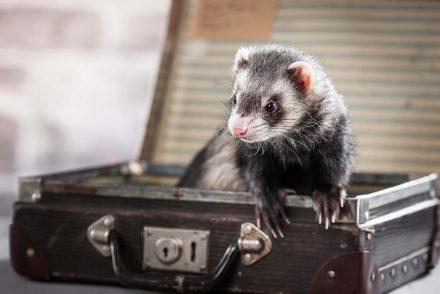 Frettchen Tierfotografie