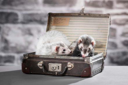 Frettchen in Koffer