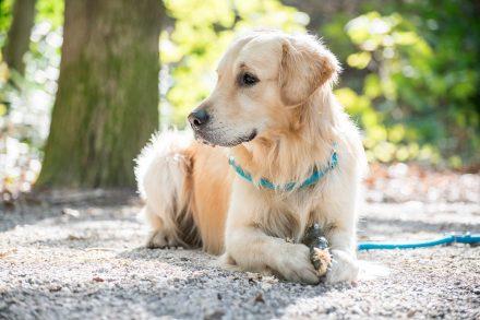 Hundefotografie Golden Retriever