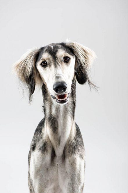 Windhund Saluki Fotos Portrait