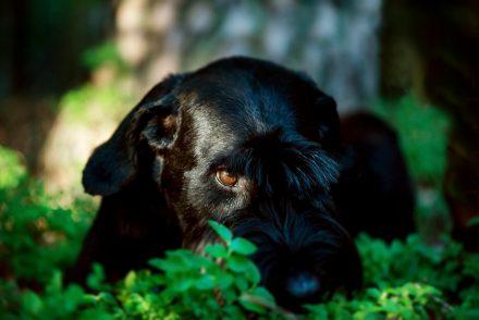 Hundeblick Riesenschnauzer