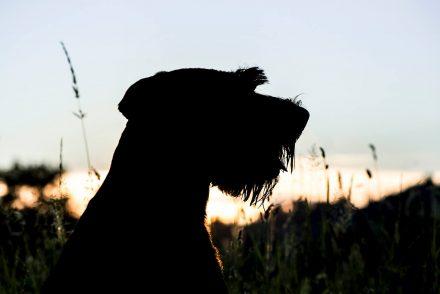 Hundeprofil Sonnenuntergang