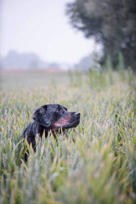 Hund im Weizenfeld