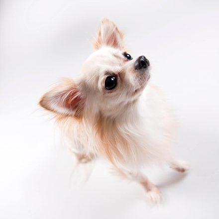 Tier-Foto Chihuahua